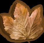 Faded Leaf